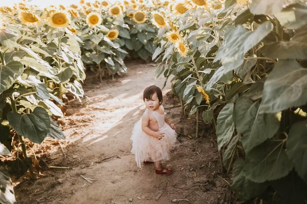 Toronto sunflower minis